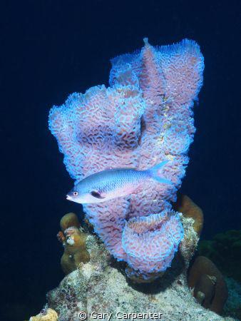 Azure vase sponge - Callyspongia plicifera & Creolefish... by Gary Carpenter