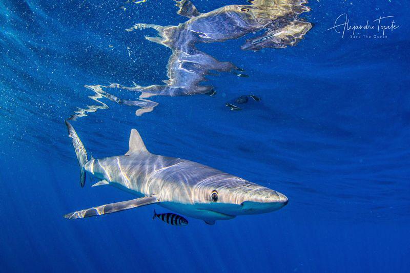 Blue shark with Reflex, Cabo San Lucas México by Alejandro Topete