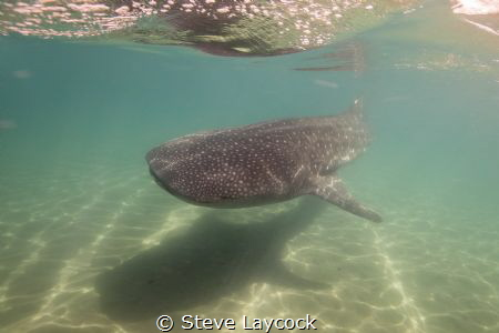 Whale shark cruising by the boat at La PAz by Steve Laycock