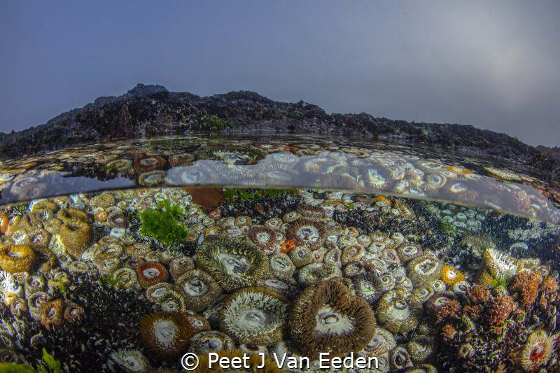 The gatekeepers  Sand anemones in a gulley living from ... by Peet J Van Eeden