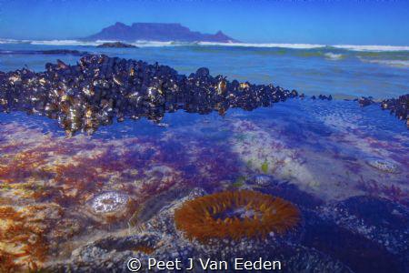 Underwater Cape Town.A sandy anemone keeps guard with Tab... by Peet J Van Eeden