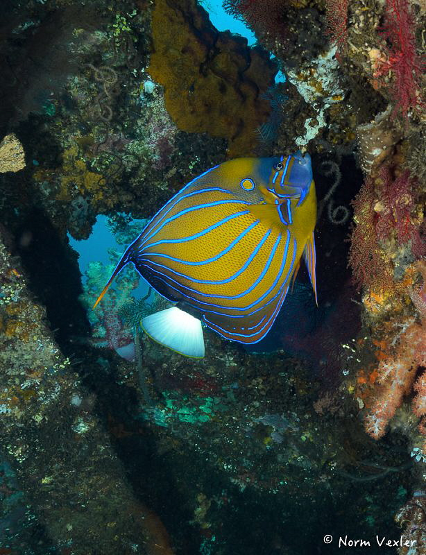 Blue-Ringed Angelfish at the Wreck of the Liberty in Bali by Norm Vexler