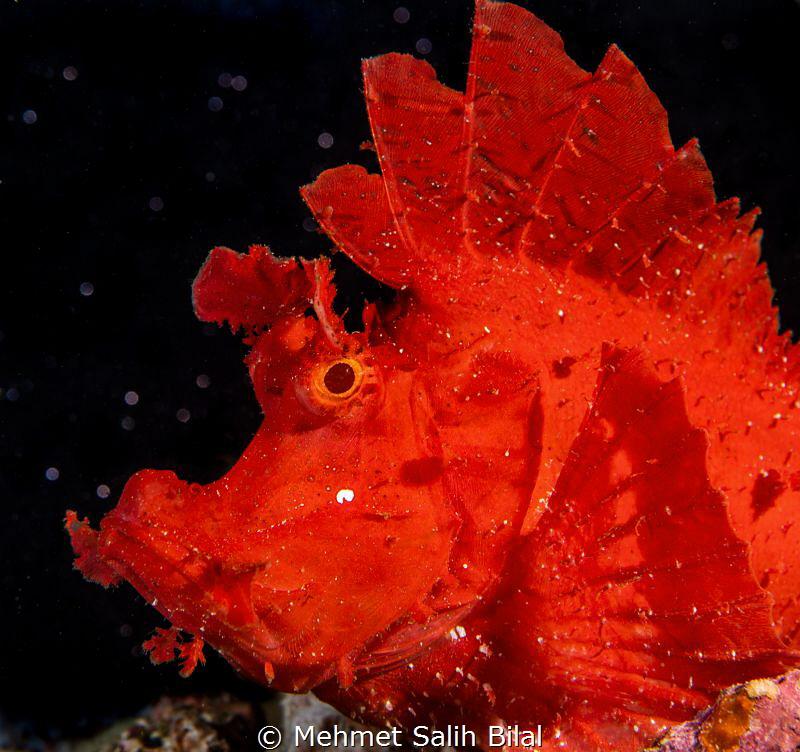 Red rhinopia eschmeyeri. by Mehmet Salih Bilal