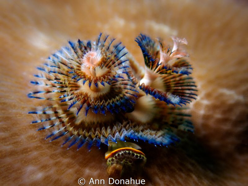 I love Xmas tree worms and this one has such unusual colo... by Ann Donahue