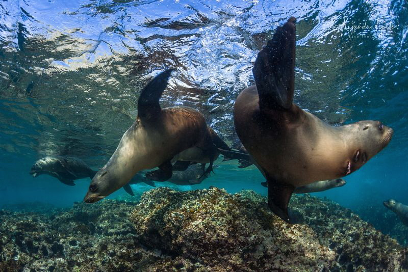 Sea Lions Playing, Isla Magdalena México by Alejandro Topete