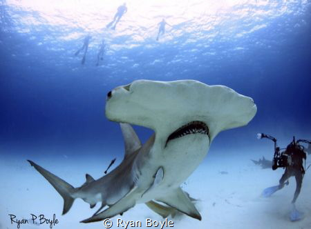 Great Hammerhead up close and personal in Bimini shot wit... by Ryan Boyle