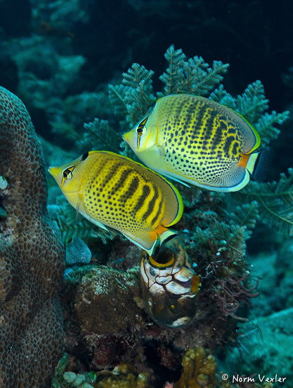 A beautiful pair of Spot-Banded Butterflyfish in Tulamben... by Norm Vexler
