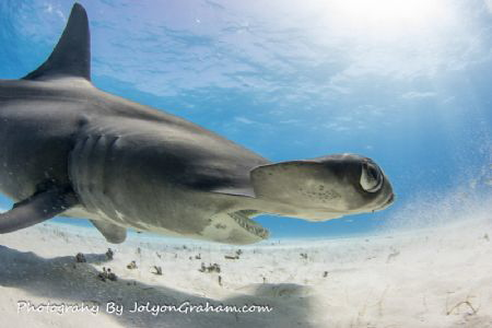 Hammerhead close up at Tiger Beach by Joe Graham