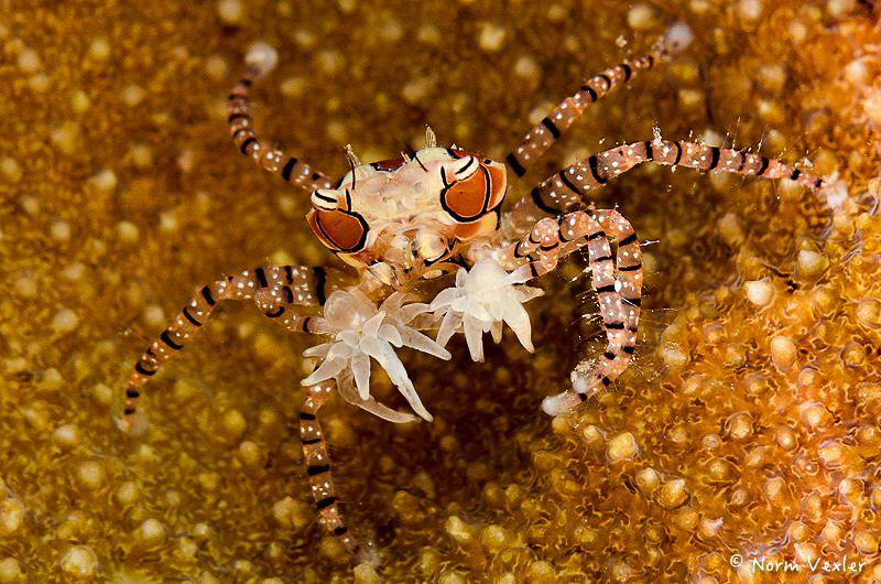 Mosaic Boxer Crab photographed in Ambon. by Norm Vexler