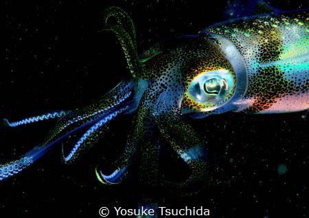 Attractive Big-fin Reef Squid/tested Pop and Vivid setting. by Yosuke Tsuchida
