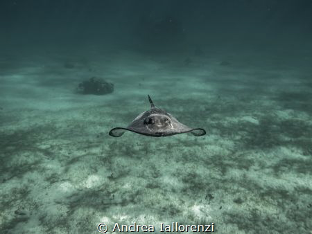 the Beautiful Southern Atlantic stingrays In the north So... by Andrea Iallorenzi