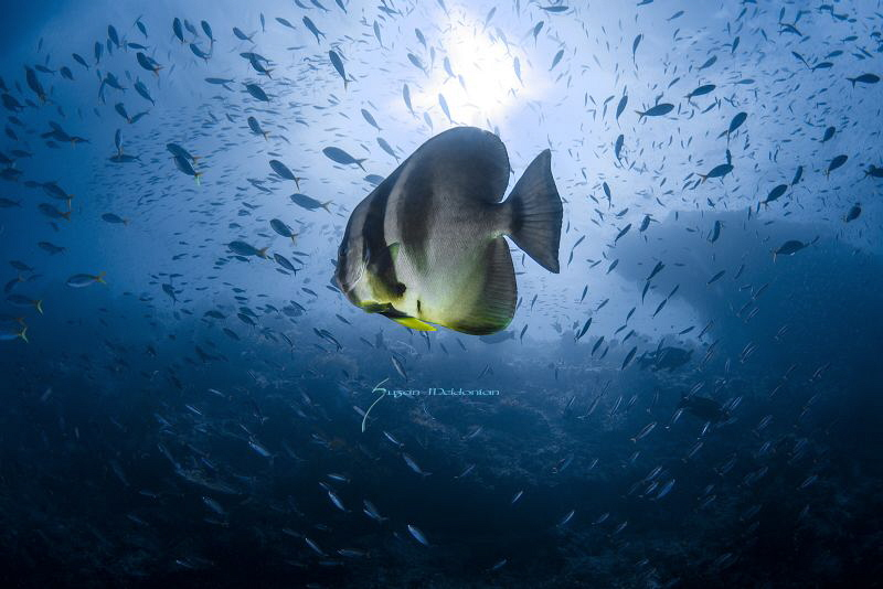 A Batfish rising to the occasion of sunlight by Suzan Meldonian