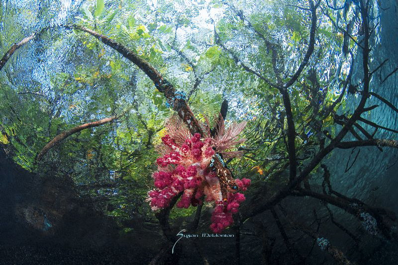 Dendronephthya soft corals adorn the mangrove roots somew... by Suzan Meldonian