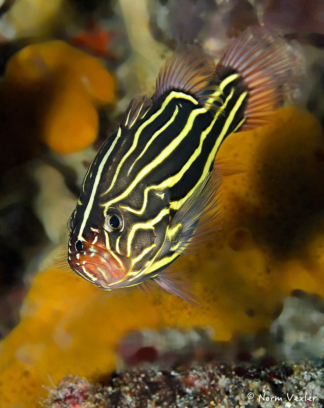 Six-Lined Soapfish found in Ambon, Indonesia by Norm Vexler