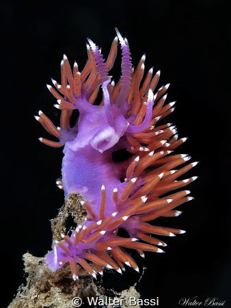 Flabellina ischitana by Walter Bassi