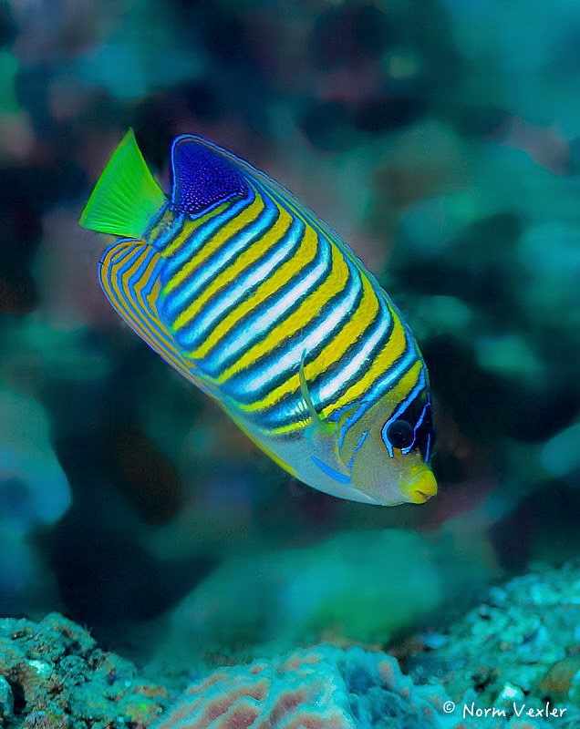 The Regal Angelfish...always stunning to see in full view. by Norm Vexler