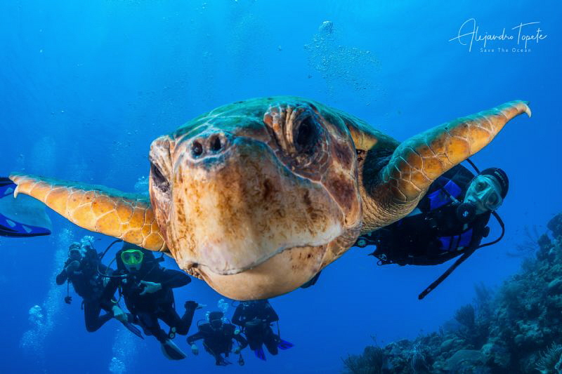 Big Turtle with Divers, Half Moon Caye Belize by Alejandro Topete