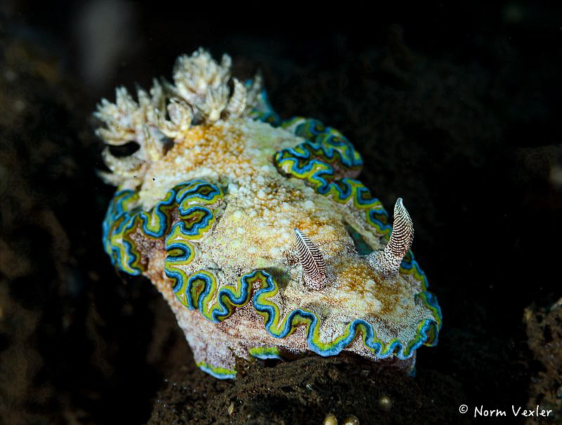 A rare and beautiful nudibranch - Girdled Glossodoris. by Norm Vexler