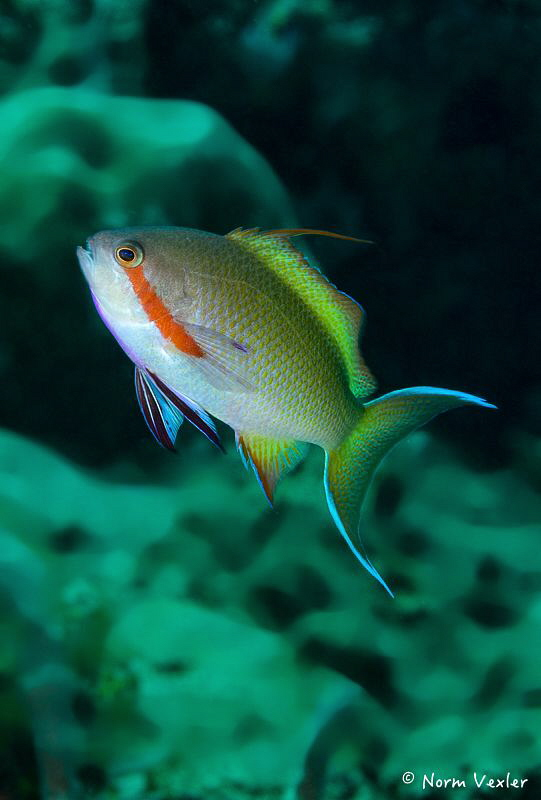 Threadfin Anthias in Ambon by Norm Vexler