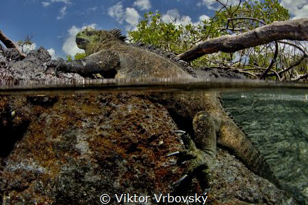 Marine iguana (Amblyrhynchus cristatus) is basking on lav... by Viktor Vrbovský