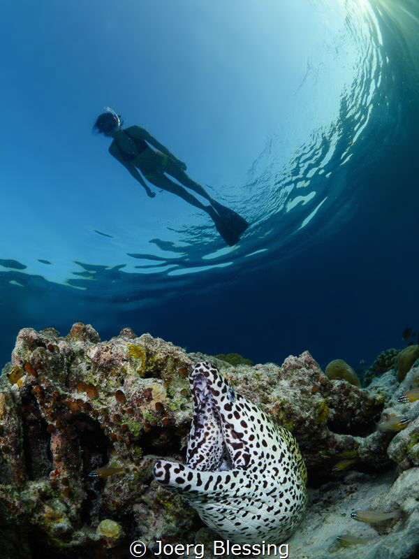 Honeycomb moray eel by Joerg Blessing