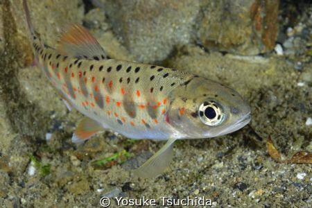 Red-Spotted Masu Salmon by Yosuke Tsuchida