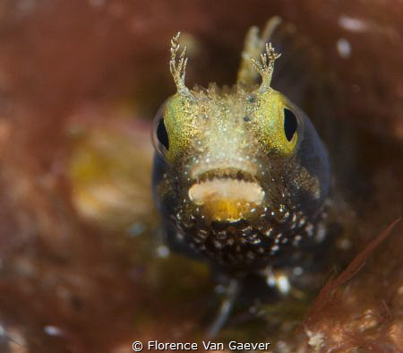 Curious blenny by Florence Van Gaever
