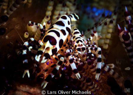 coleman shrimps side by side by Lars Oliver Michaelis