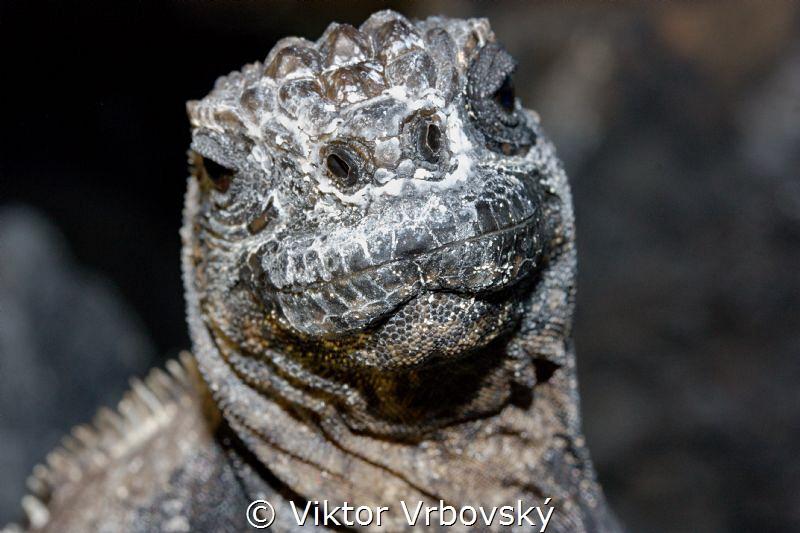 Curious Marine Iguana (Amblyrhynshcus cristatus)(Isla Isa... by Viktor Vrbovský