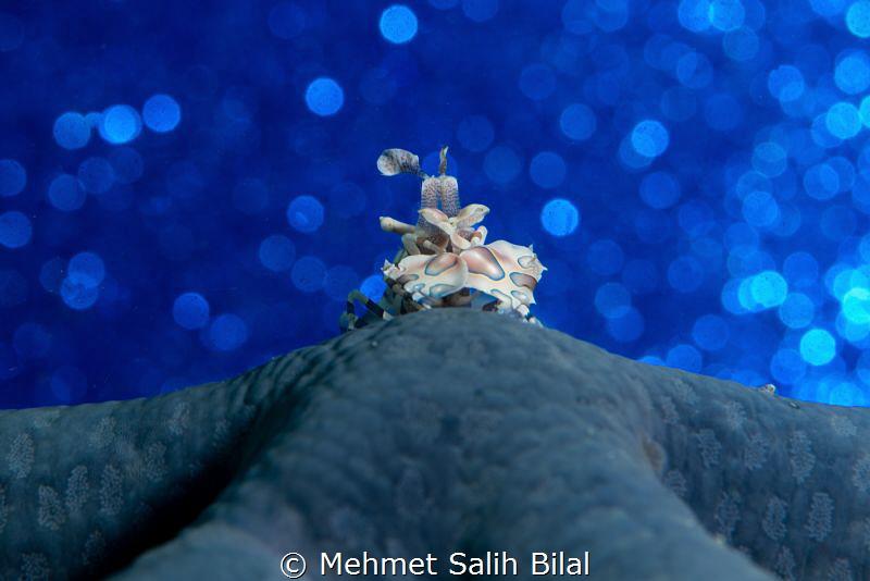 Harlequin shrimp and the blue starfish. by Mehmet Salih Bilal