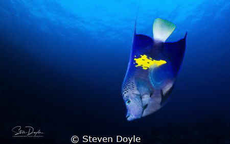 Red Sea, Yellowbar Angelfish by Steven Doyle