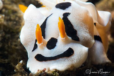 Chromodoris dianae photographed with a Canon 60 mm macro ... by Laurie Slawson