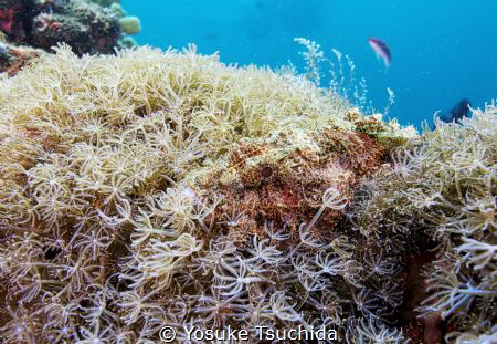 Camouflage/Hiding Scorpion Fish by Yosuke Tsuchida