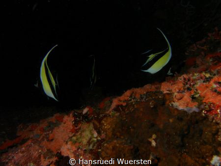 Banner fishes on dark by Hansruedi Wuersten
