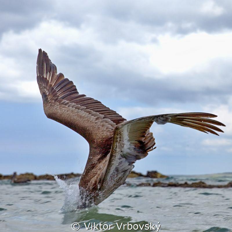 Pelican Attack! by Viktor Vrbovský