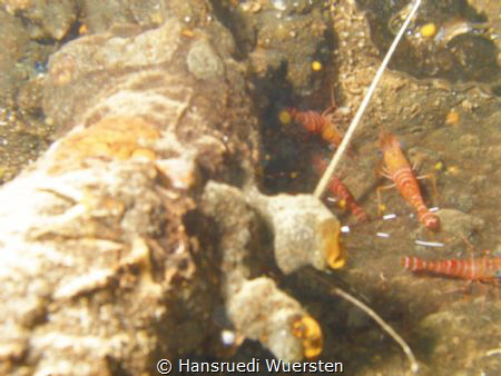 Shrimps on Okikawa Wreck by Hansruedi Wuersten