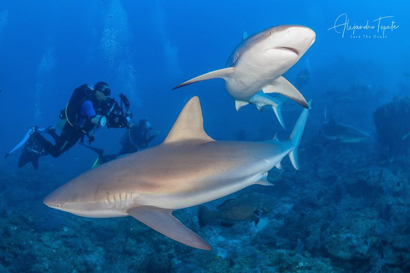 Sharks and Divers, Gardens of the Queen Cuba by Alejandro Topete