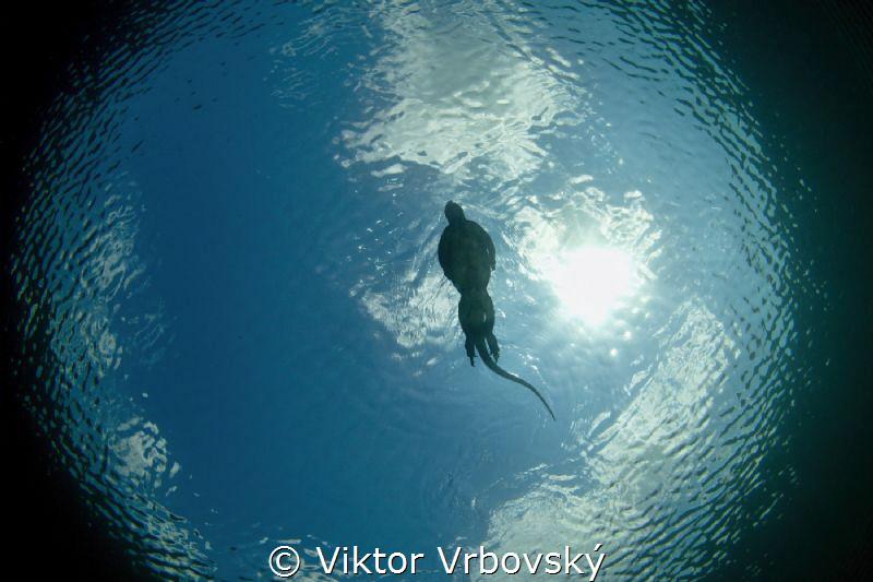 Marine iguana (Amblyrhynchus cristaus) i snells window by Viktor Vrbovský