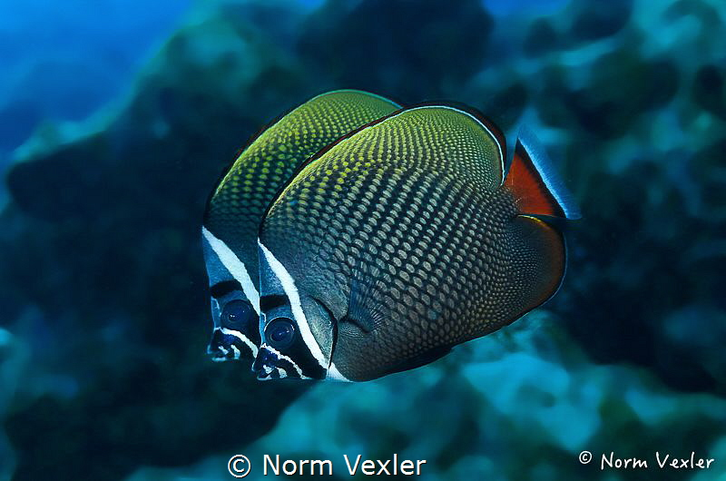 A pair of White Collar Butterflyfish photographed in the ... by Norm Vexler