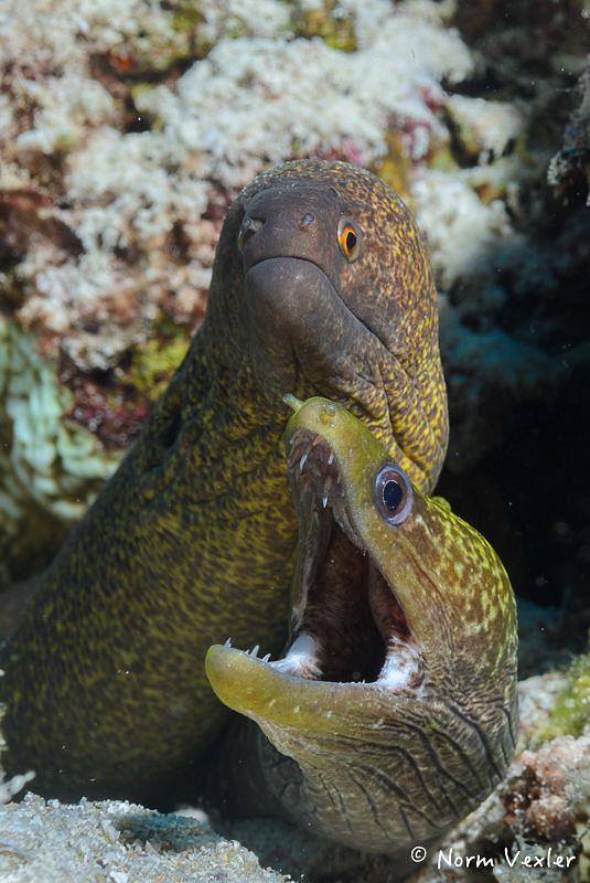 Moray Eels in the Maldives. by Norm Vexler