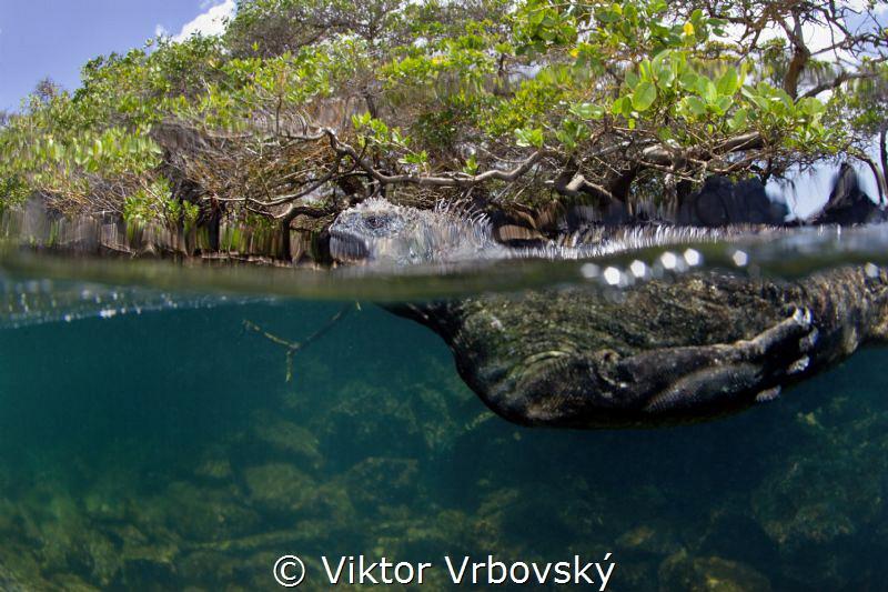 Matine iguana (Amblyrhynchus cristatus) by Viktor Vrbovský