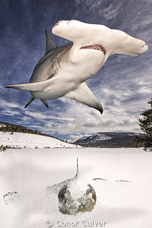 """Hide and Seek"" The Great Hammerhead shark's favorite foo... by Conor Culver"