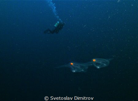 Early morning dive. Two small creatures appeared on fron ... by Svetoslav Dimitrov