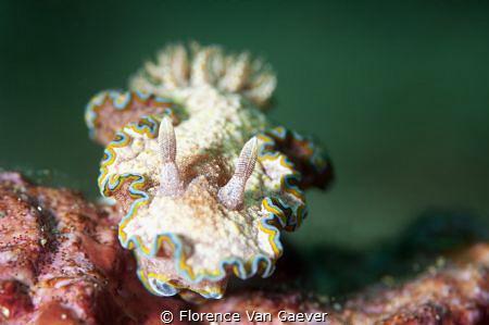 Girdled Glossodoris by Florence Van Gaever