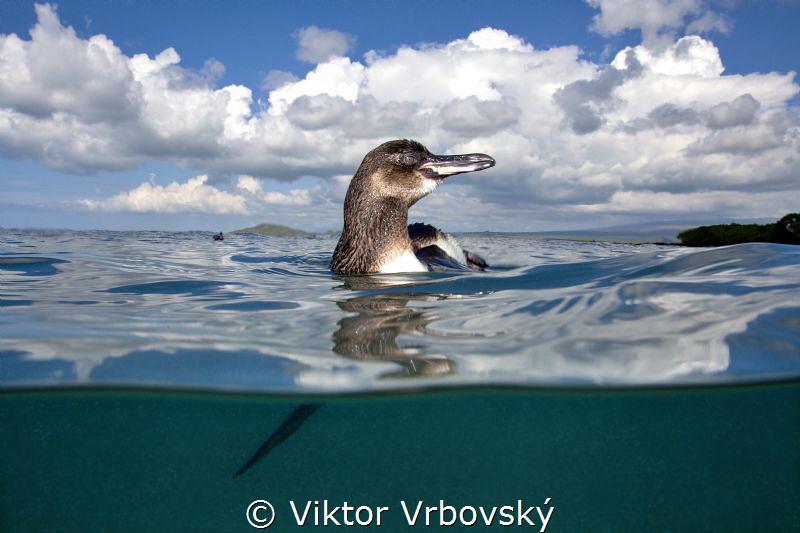 Galapagos Penguin (Spheniscus mendiculus) by Viktor Vrbovský