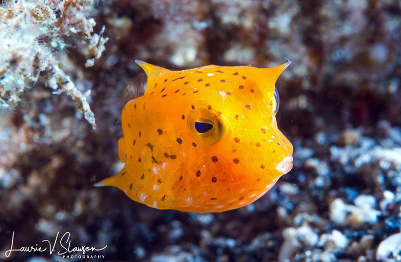 Thornback Cowfish/Photographed with a Canon 60 mm macro l... by Laurie Slawson