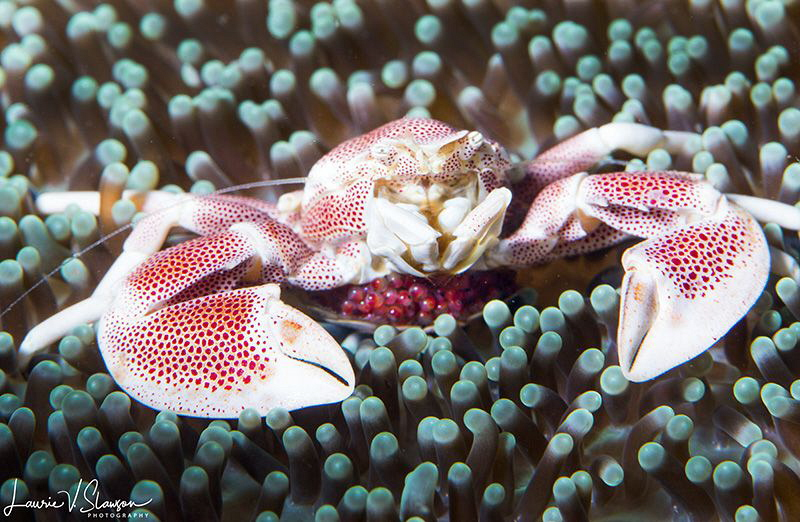 Spotted Porcelain Crab With Eggs/Photographed with a 100 ... by Laurie Slawson