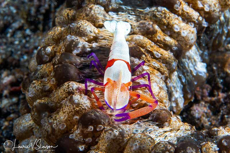 Emperor Shrimp on a Sea Cucumber/Photographed with a Cano... by Laurie Slawson