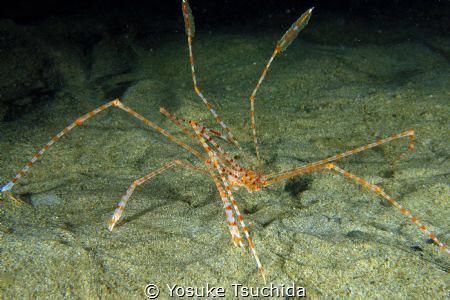 Banded Arrow Crab/Latreillia Valida by Yosuke Tsuchida