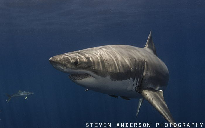 The Great White Shark .... not much more that you can say... by Steven Anderson